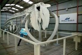 Albany Whaling Museum, located in Frenchmans Bay. Here is the picture of the biggest whale fossil