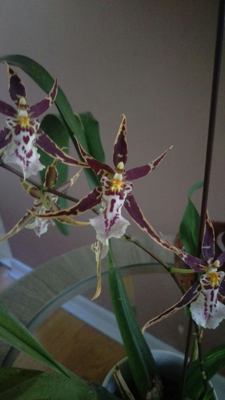 Brassidium Golden Gamine 'White Knight' oncidium orchid from clouds orchids