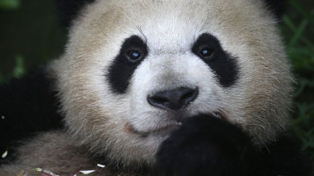 Como a China conseguiu salvar os pandas gigantes da extinção?