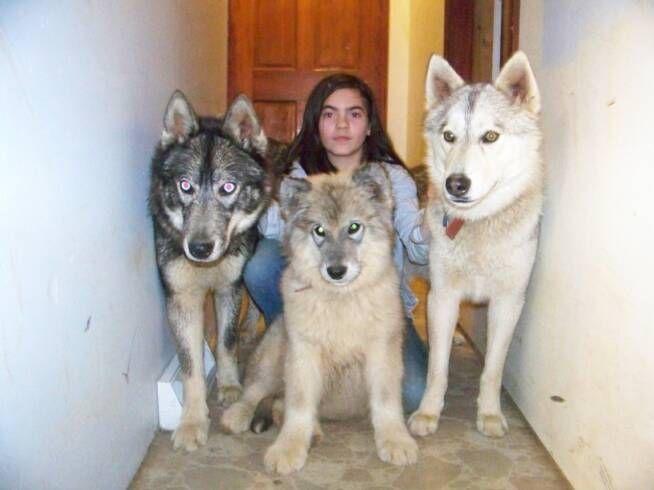 Hybrid Wolf. Dog + Wolf. I LOOOVE big doggies! :)