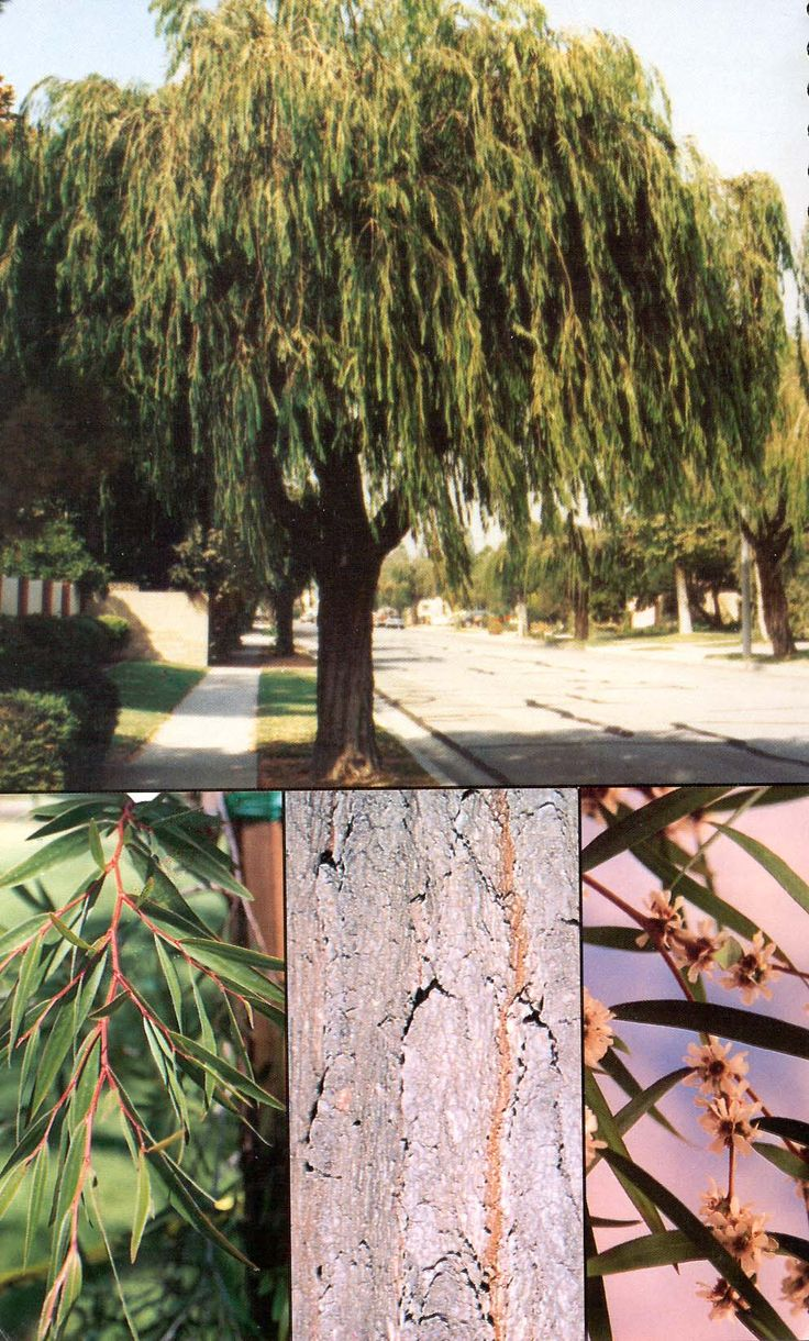 Australian willow myrtle | Agonis flexuosa another good smallish tree for front-- evergreen, somewhat of a weeping form. Can be green foliage, but there is another variety called 'Jervis Bay After Dark' that comes with burgundy foliage-