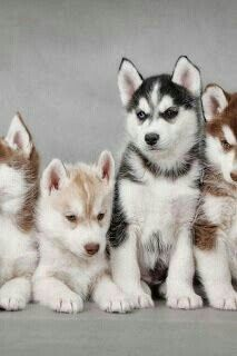 Huskies<3