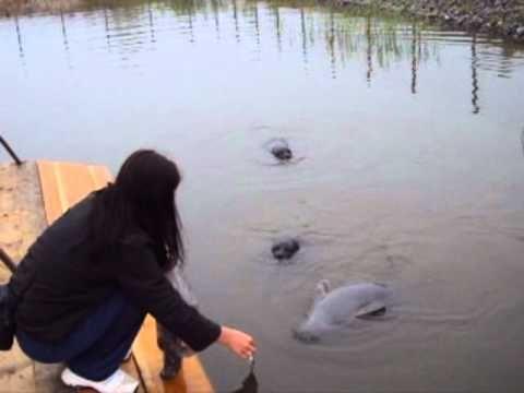 Baikal seals in the Yaroslavl Zoo