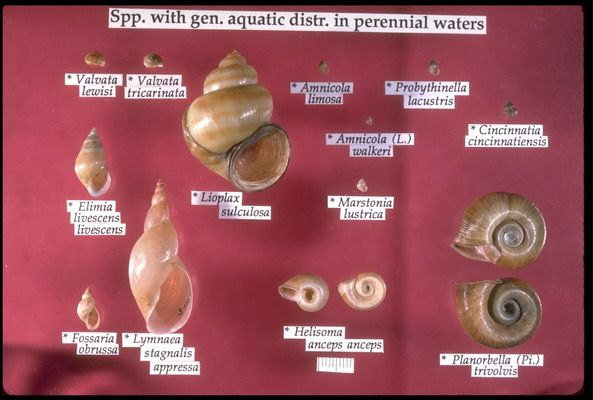 freshwater snails identification