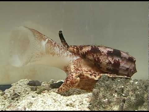 Conus geographus - How a snail eats a fish