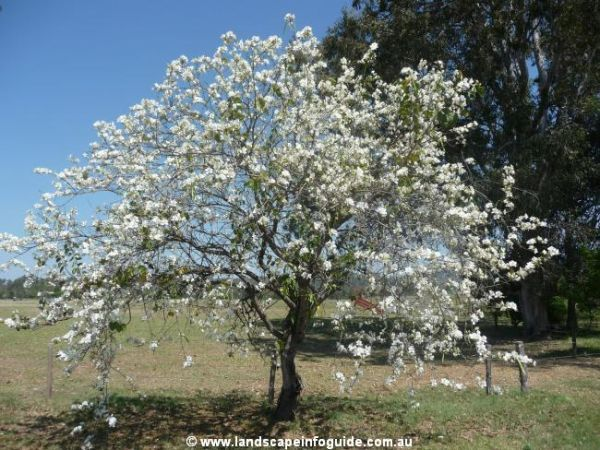 10 Images About Flowering Trees In Our Yard On Pinterest