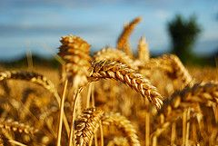 Prepping on Pennies:  #1 Get to know wheat