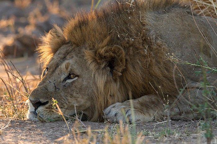 Magnificent male lion at Ruckomechi #ManaPools #Zimbabwe