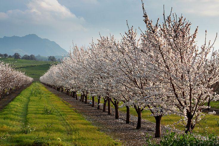 Sacramento Valley almond orchard  The Warlocks Curse Reference Images  Sacramento valley