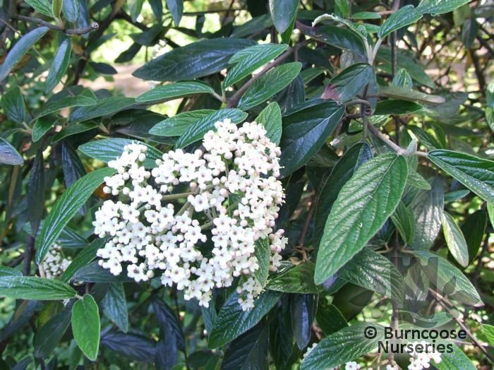 Viburnum 'Pragense' - an evergreen shrub with creamy-white flowers in May. Very hardy. Grows fairly wide.