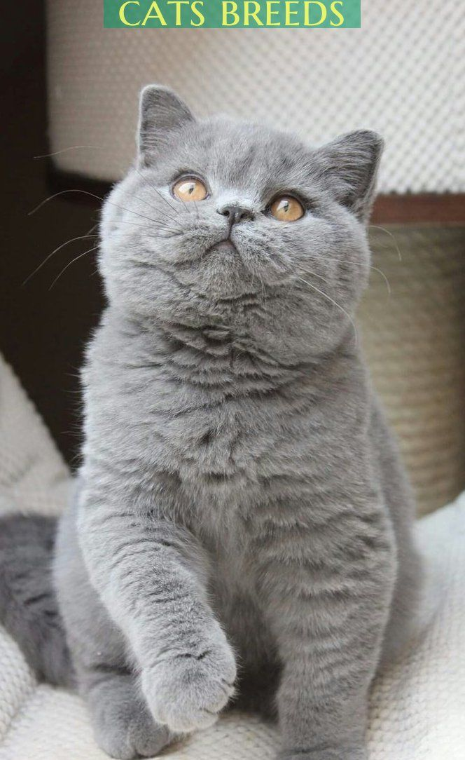 Most Amazingly Beautiful Cat Breeds In The World Catbreeds Cats Catbreeds Cats Die Schonsten Katzenrassen Der In 2020 Cat Breeds Kitten Breeds Beautiful Cat Breeds
