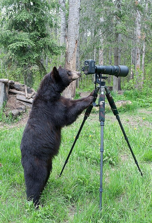 Best Bears Images On Pinterest Beautiful Brown Bears And - 32 bears decided try human