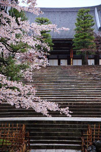 京都金戒光明寺の石段と御影堂と満開の桜