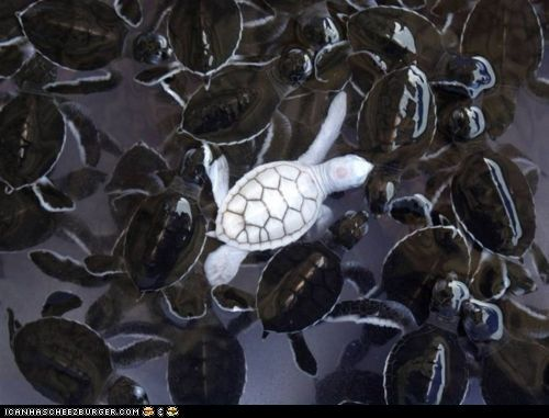 !!Animal Pictures, Albino Turtles, White, The Navy, Animal Photos, Baby Turtles, Baby Sea Turtles, Albino Sea, Albino Animal