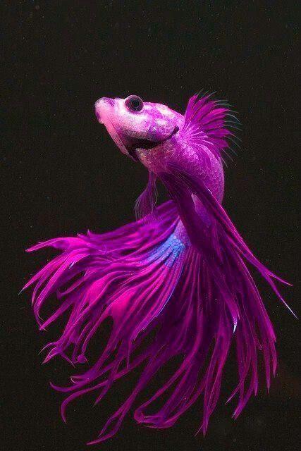Purple blue beta fish beyond belief colors pinterest for Purple betta fish for sale