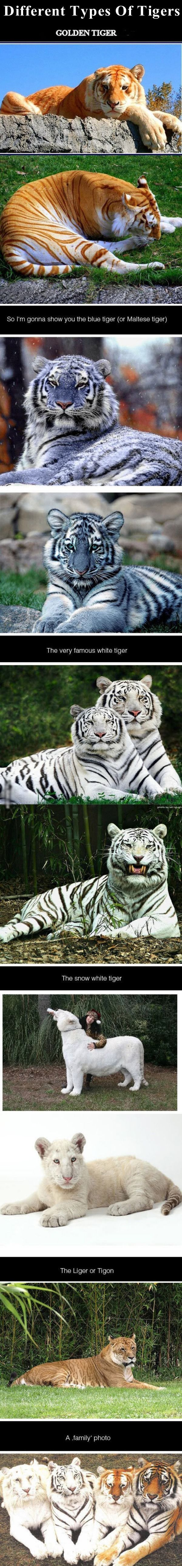 Different Types Of Tigers animals nature tiger animal interesting tigers wild life wild animals.