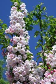 Ein Säulenobstbaum ist für kleine Gärten und im Kübel auch für Balkone geeignet