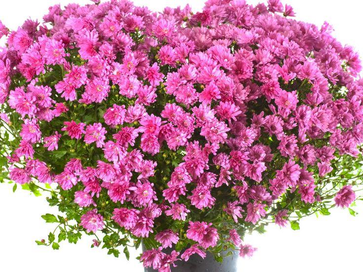 květiny obrázky, chryzantémy tapety, mnoho vektor, srdce pozadí, obal materiál
