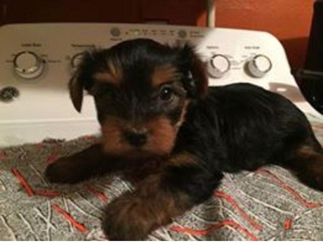 Yorkie Puppies For Sale Animals Abilene Texas Announcement