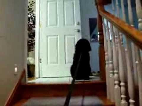 (20) Jackie, Golden-Doodle Puppy, afraid of the stairs. - YouTube