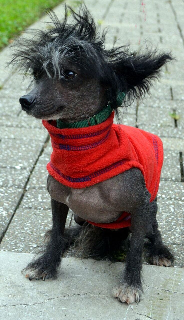 Rowdy is an adoptable Chinese Crested Dog searching for a forever family near Bridgeton, MO. Use Petfinder to find adoptable pets in your area.