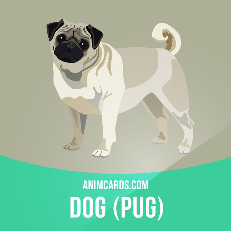 Pugs often are described as a lot of dog in a small space. These sturdy, compact dogs are known as the clowns of the canine world because they have a great sense of humor and like to show off. Originally bred to be a lap dog, the Pug thrives on human companionship. Learning English can be fun! Visit our website: learzing.com #english #englishlanguage #learnenglish #studyenglish #language #vocabulary #dictionary #englishlearning #vocab #animals #pug #pugs #dog #dogs #mammal #mammals
