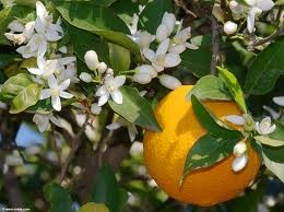 louisiana sweet orange treeChristmas Gift Ideas, Essential Oil, Orange Flower, Orange Blossoms, French Country Home, Gardens, Orange Trees, Wedding Flower, Orange Juice