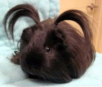 pig hair style 1000 images about guinea pigs on guinea pigs 6173