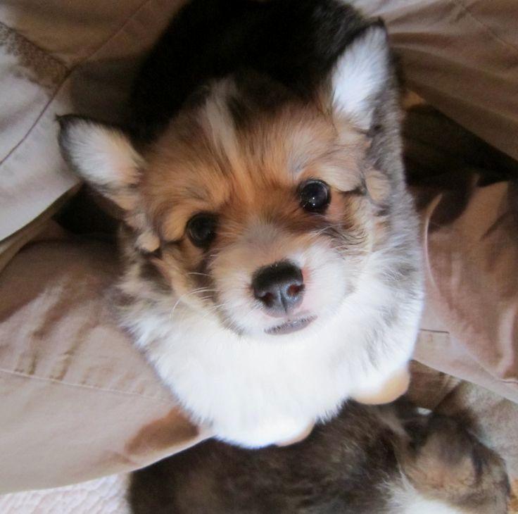 Fluffy Corgi #Puppy