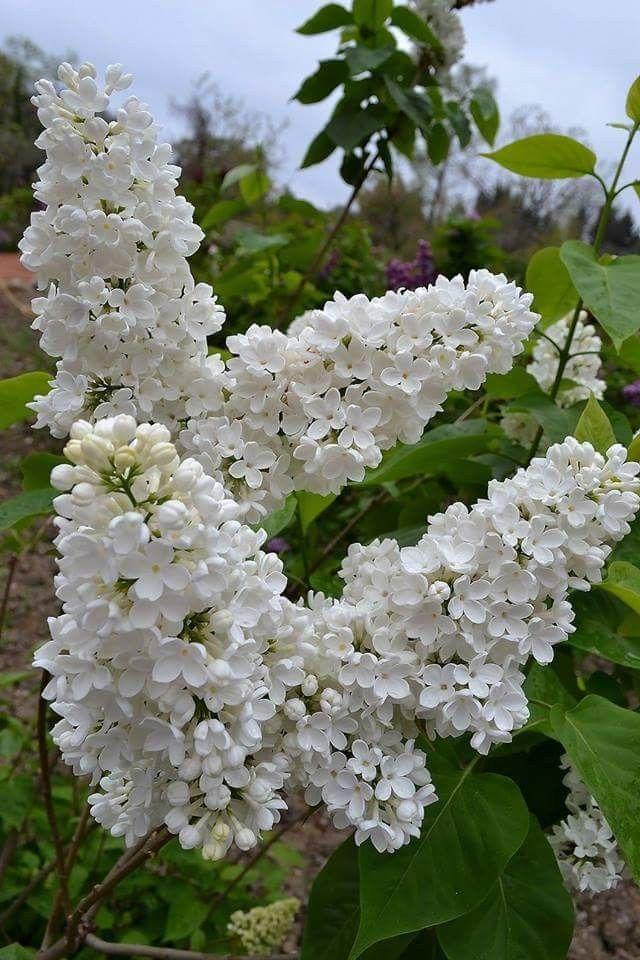Soylemedigin Sozun Hakimi Soyledigin Sozun Mahkumusun Hz Ali R A Lilac Plant Lilac Flowers White Lilac Tree