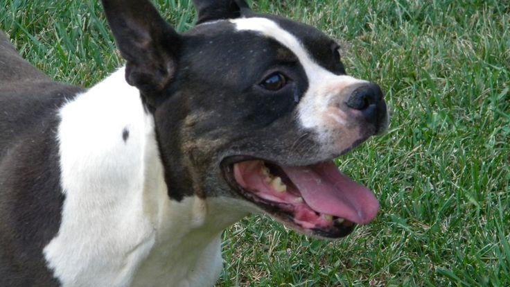 Boston Terrier Boxer mix.Boxers Mixed, Boston Terriers, Boxer Mix ...
