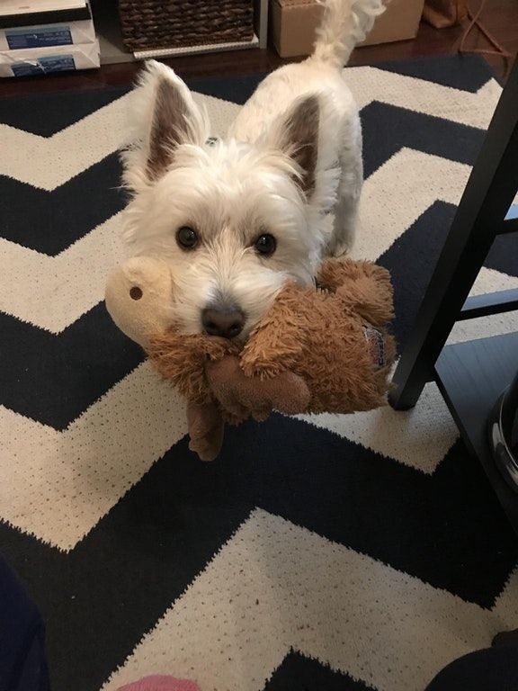 Reddit The Front Page Of The Internet Westie Puppies Puppy