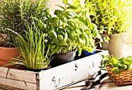 Come coltivare le erbe aromatiche in giardino, sul balcone o in casa
