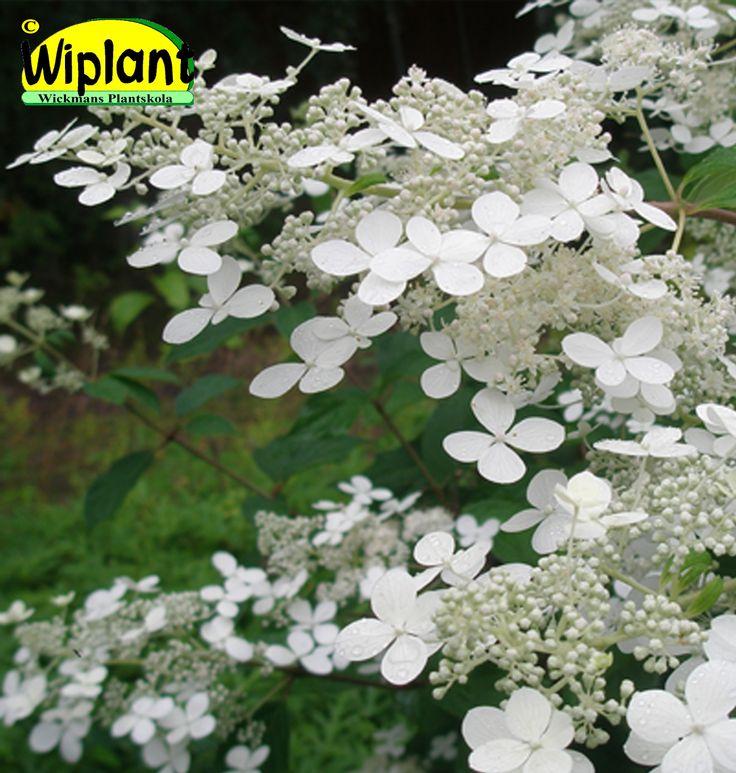 Hydrangea pan. 'Mustila', Mustilahortensia. FinE-sort. Tidig, helvit, upprätt blomning. Både han- och honblommor i samma klase. Höjd: 2 m.