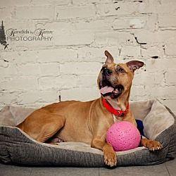 Valparaiso, Indiana - American Bulldog. Meet Barney, a for adoption. https://www.adoptapet.com/pet/14656035-valparaiso-indiana-american-bulldog-mix