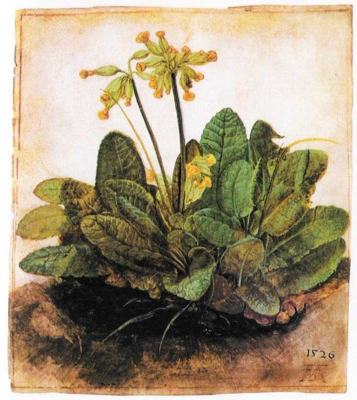 Durer Flower.: Dc Botanical Gardens, Botanical Prints, Botanical Illustrations, Posts, Cowslip 1526, Durer Flowers, Paintings Drawings Flowers Pl, National Galleries, Durer Cowslip