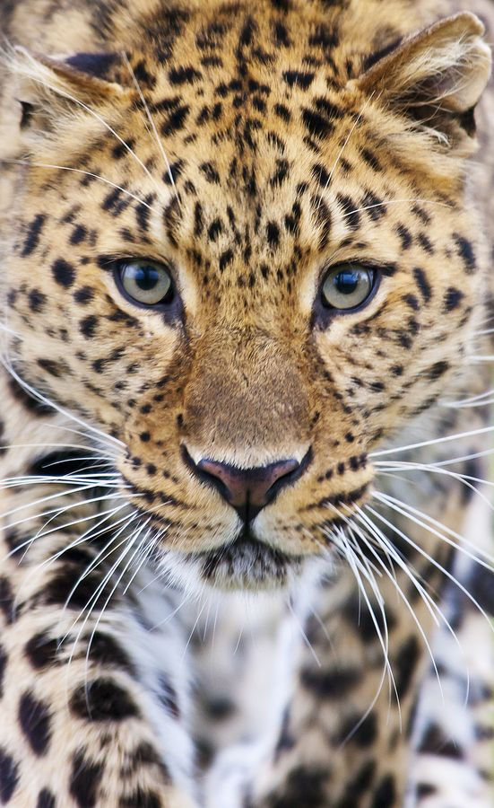 Amur Leopard. This gorgeous creature is one of the rarest animals in the world. Less than 40 exist today, with only 6 or so females. Animal photography by Big Cat Photos UK.