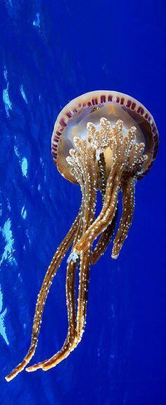 Jellyfish, Pearl