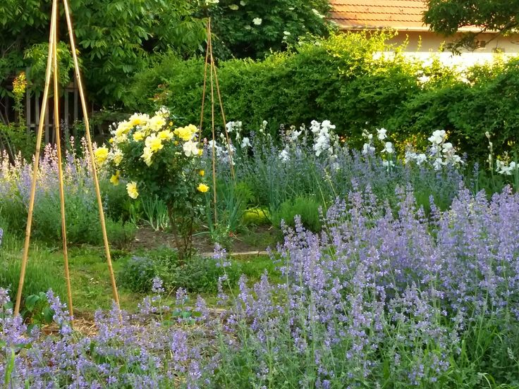 Vegetable garden - Nepeta border, yellow rose and Iris