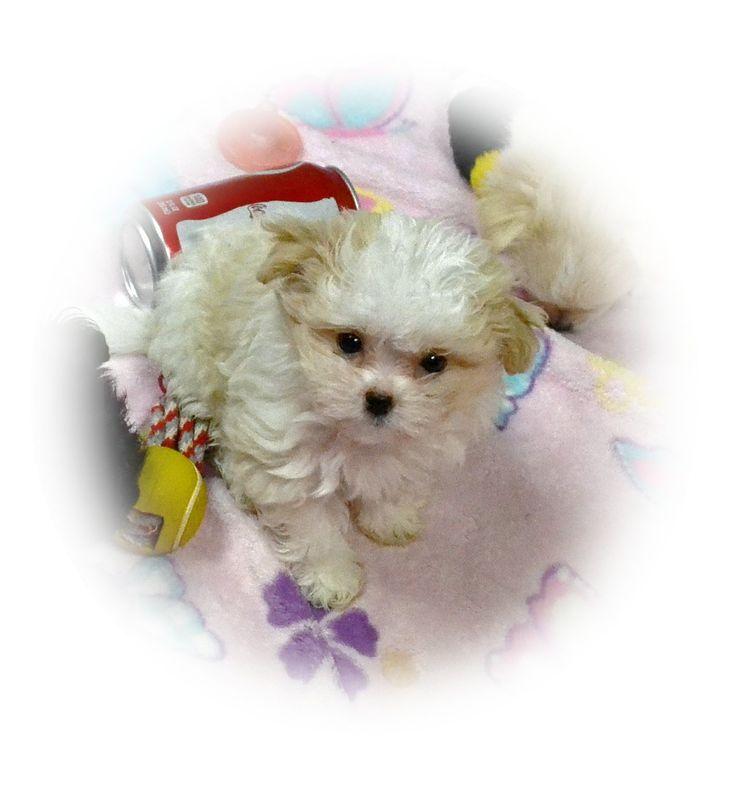 teddy bear puppies breeders in michigan
