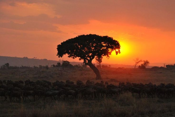 Sunset over the #Serengeti in #Tanzania with a herd of #Wildabest in the foreground | Picfari.com