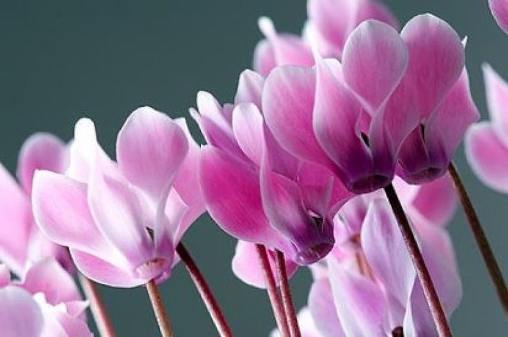 Presagios, costumbres y símbolos relacionados con el ciclamen. Esta planta de flores colgantes, rojas, rosas, malva o blancas, fue bautizada con ese nombre, que