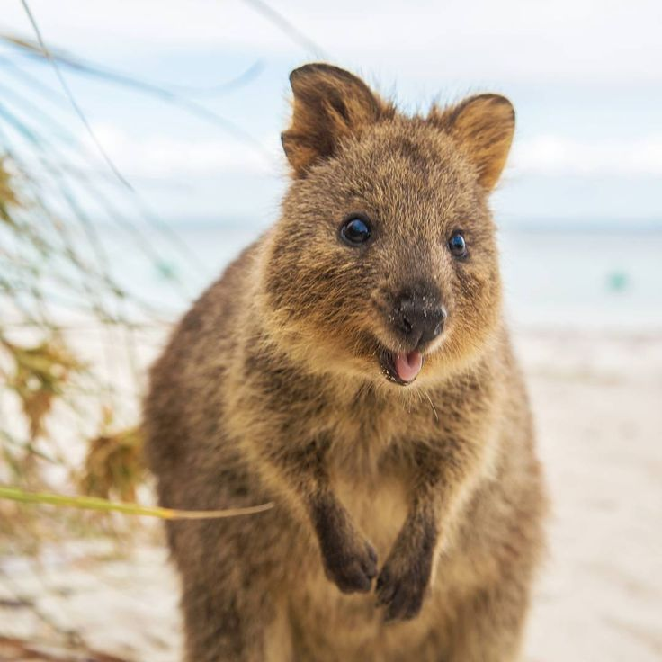 Best Quokka Images On Pinterest Nature Wild Animals And - 15 photos that prove quokkas are the happiest animals in the world