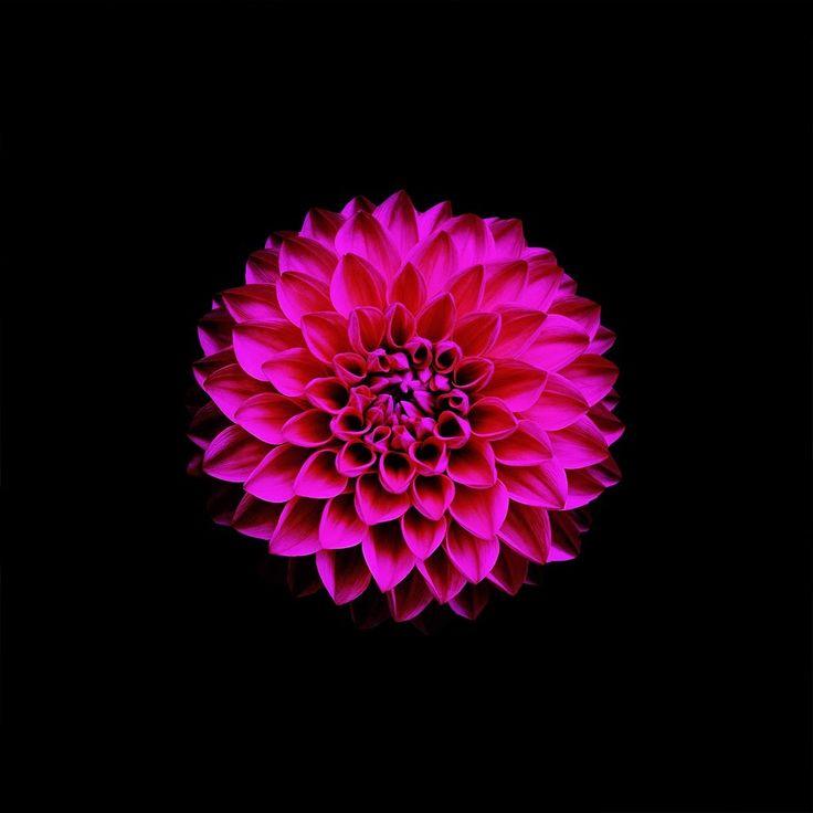 ZsaZsa Bellagio – Like No Other: Bright Pink
