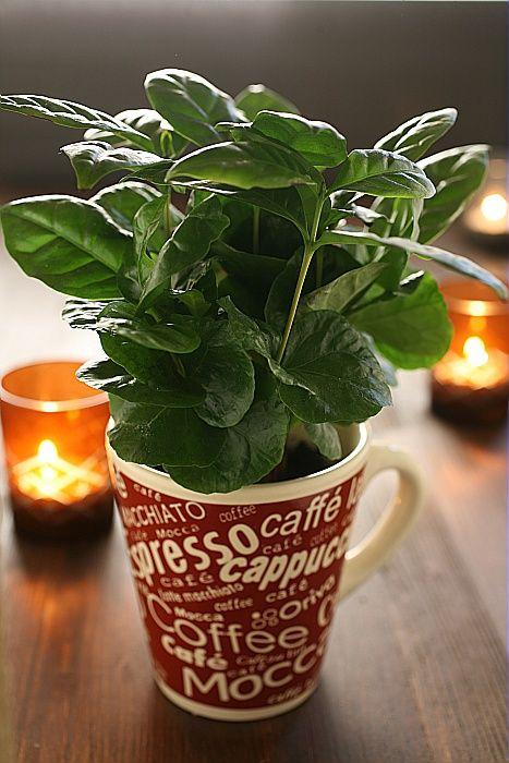 Plant de caféier dans une tasse à café