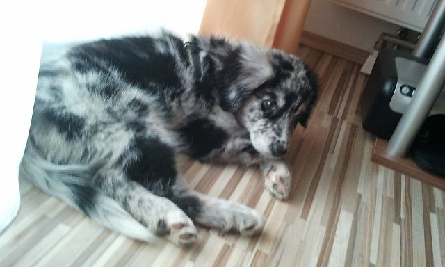 Pauli (Australian Shepherd, Flat Coated Retriever, Neufundländer) | Mischling - Mix
