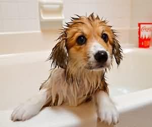 狗狗洗澡 導讀:有的飼主很常幫狗狗洗澡,有的飼主久久才幫狗狗洗澡一次,洗澡是必須的,因洗澡能有讓小狗狗,清潔和美觀又健康,但這是說正確的洗澡情況,不正確的情況,可是會適得其反的,那怎樣才是正確的洗澡情況?