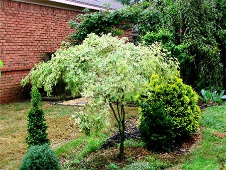 Fantastic Plants: Acer palmatum 'Butterfly'<BR><B>Butterfly Japanese Maple . . . 6' from 5 gallon