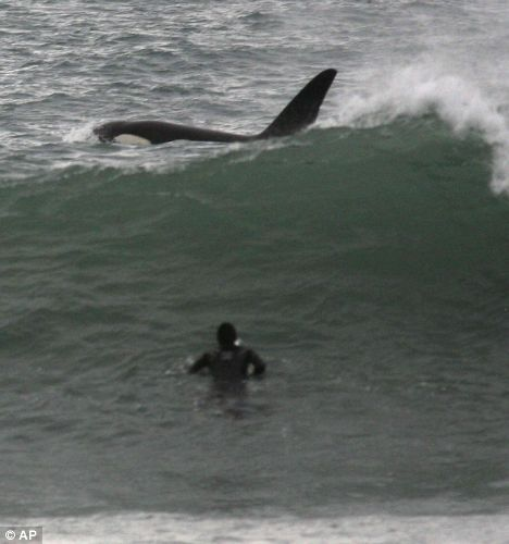 Sharing the surf with an orca. There are no documented orca attacks on humans...in the wild. Attacks only happen when they're stuffed into a fish bowl so humans can clap at them for doing idiotic tricks.