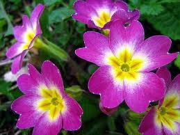 Purple Primrose-February Birth Flower
